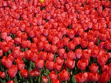 tulipany-male-red-1276679_640